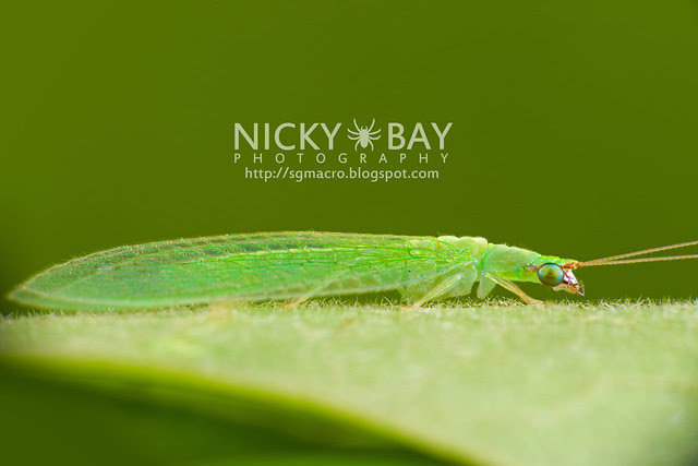 Green Lacewing (Chrysopidae) - DSC_6031
