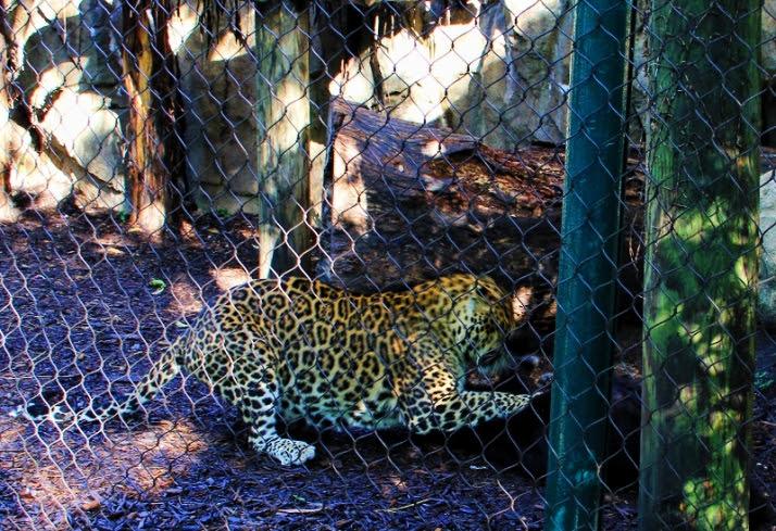 leopards fighting 2 (800x548)
