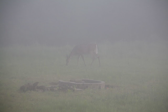 Foggy Deer