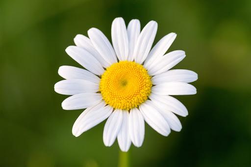「フリー素材 ヒナギク 画像 花」の画像検索結果