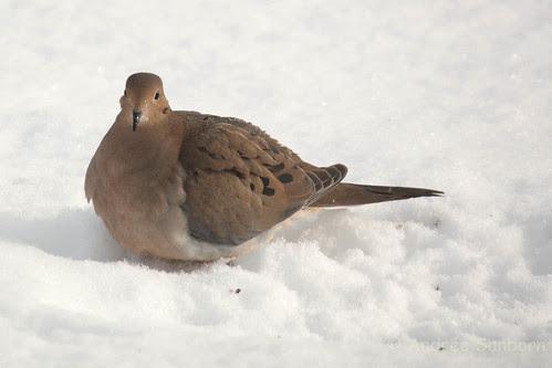 Mourning dove (8 of 44).jpg