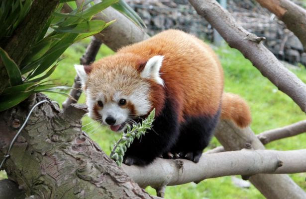 A Red Panda at the Welsh Mountain Zoo - one of many attractions for families to see.
