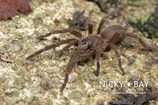 Tarantula (Phlogiellus inermis) - DSC_6956
