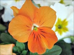Orange Viola