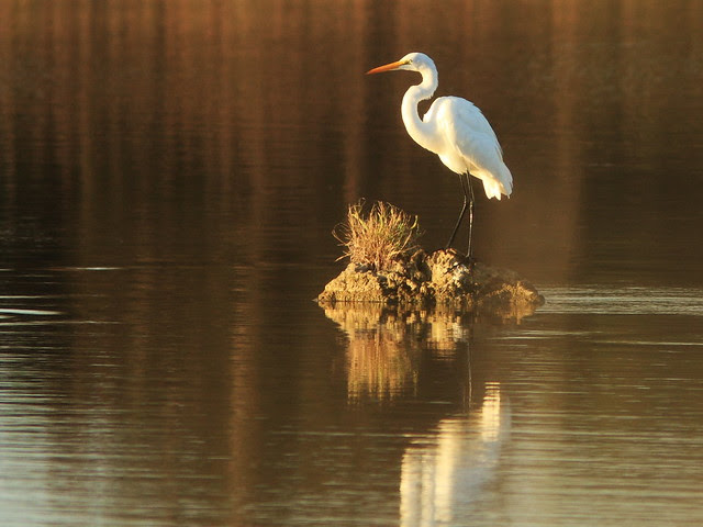 Great Egret morning light 20131206