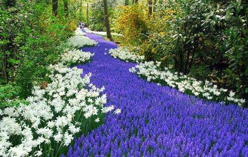 Muscari River. Google it and you will be surprised how many different variations exist.  All gorgeous.