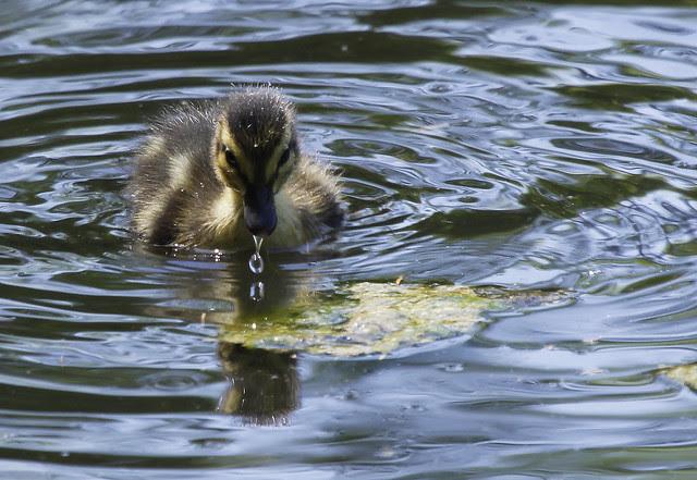 ducklingdroplet