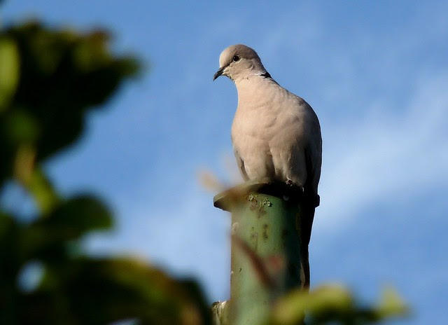 24339 - Collared Dove, Pontarddulais