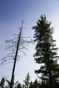 two tall tress against a blue sky