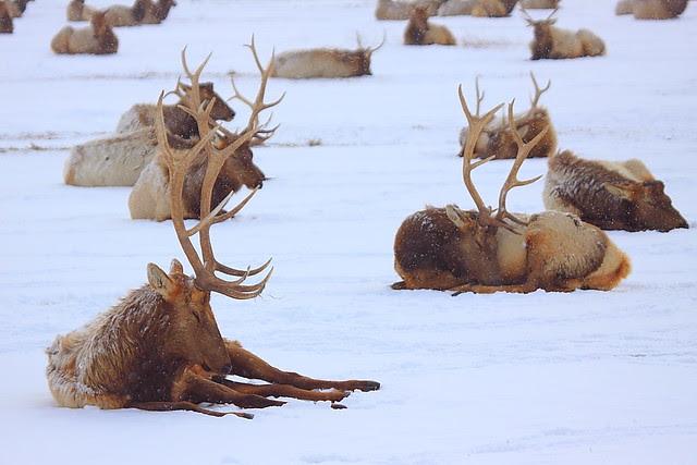 IMG_0757 Winter Struggle, National Elk Refuge