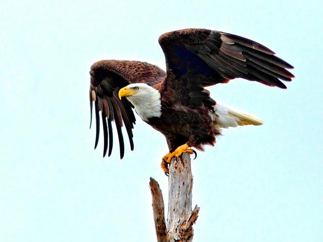 Bald Eagle (Haliaeetus leucocephalus ) spreading wings HDR 20120116