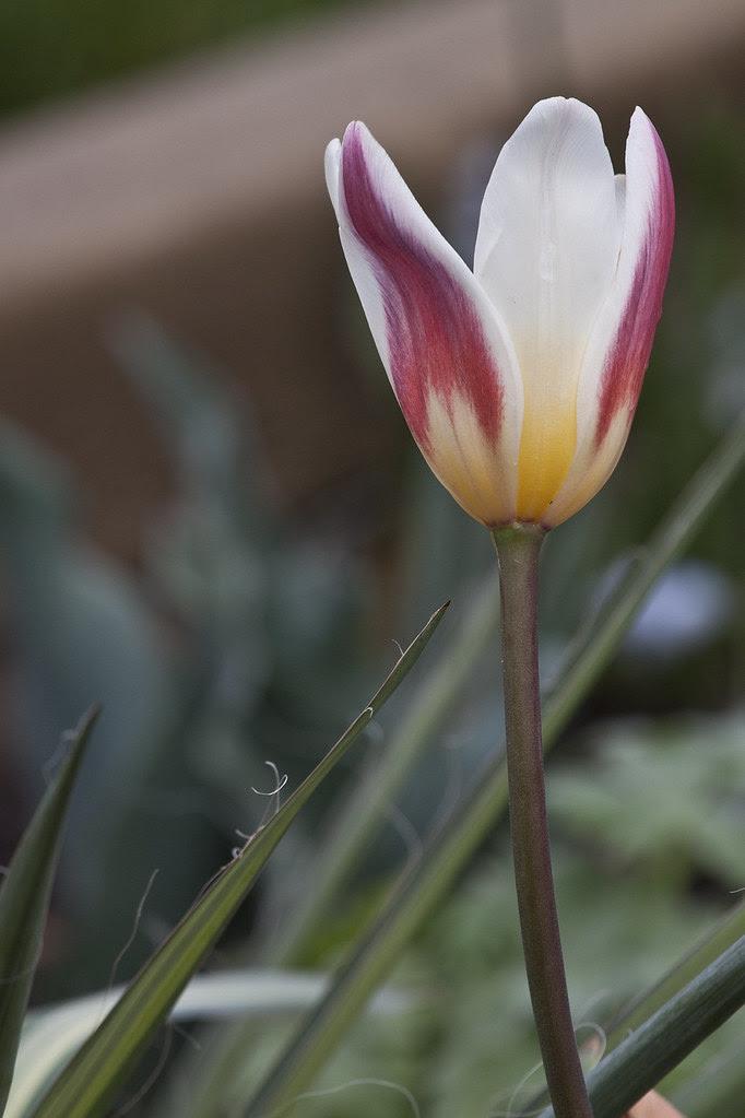 N-pretty tulip
