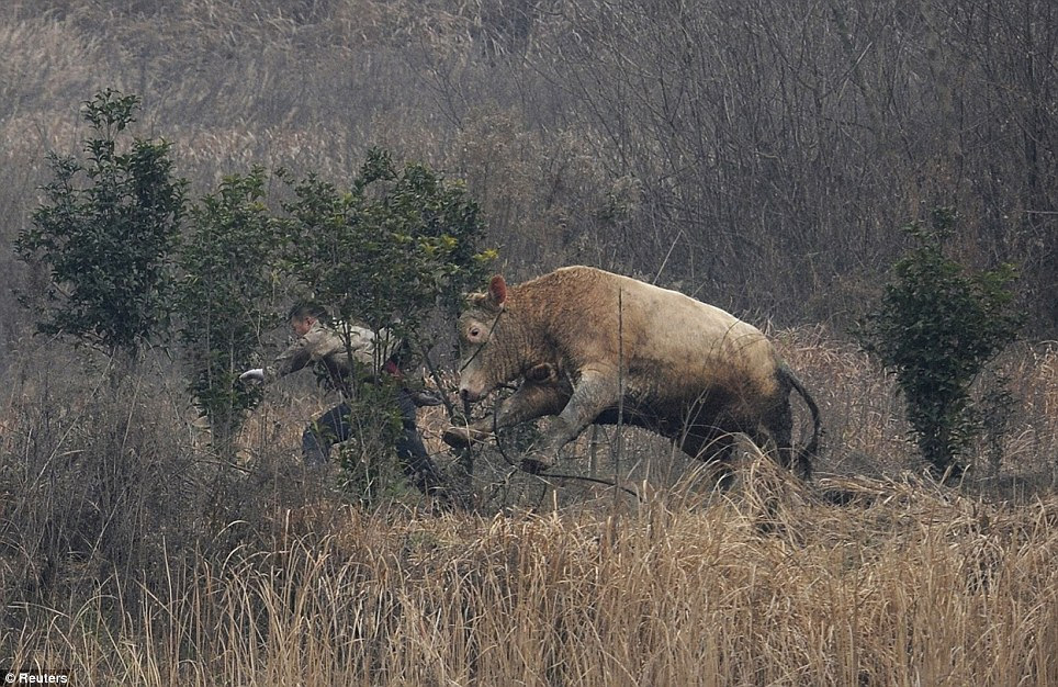 Killed: The 700 kilogram cow attacked several farmers before being shot dead by policemen in China