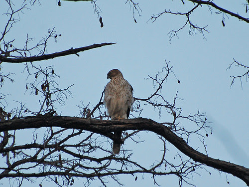Cooper's Hawk in Morningside Park