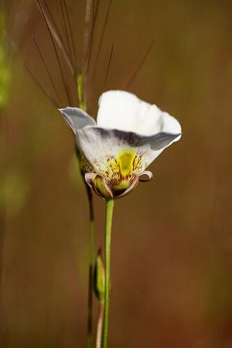 California wild mariposa lily