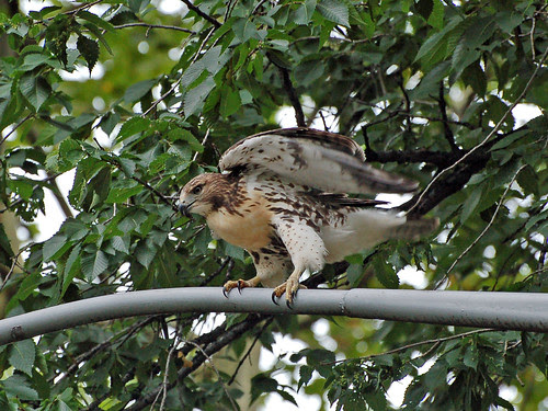 Red-Tail Fledgling on Morningside Drive