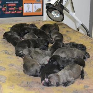 Cadela dá à luz 25 filhotes em Vianópolis (GO) e pode entrar para o Guinness Book
