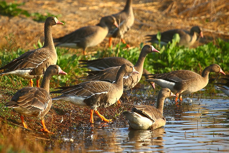 IMG_3413 White-Fronted Geese