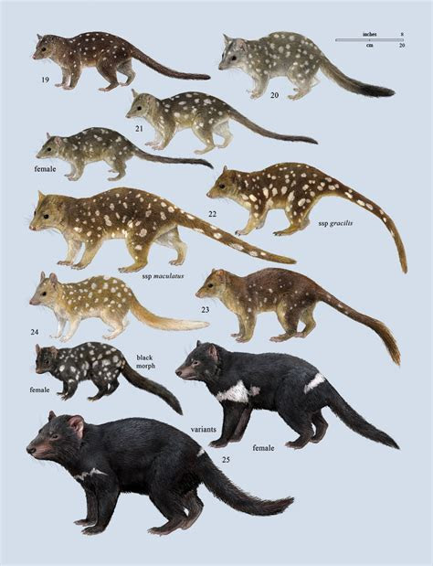 Image Gallery marsupial family