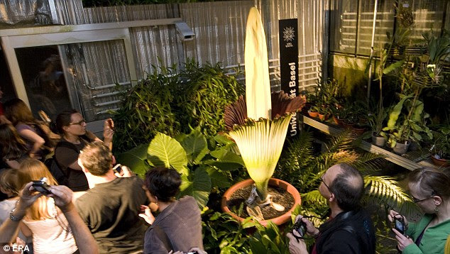 Once in a lifetime: Crowds capture Titan Arum in bloom at the University of Basel, Switzerland
