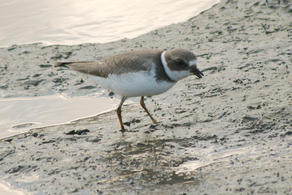 Ed Gaillard: birds &emdash; Semipalmated Plover, Muscota Marsh, Inwood Hill Park