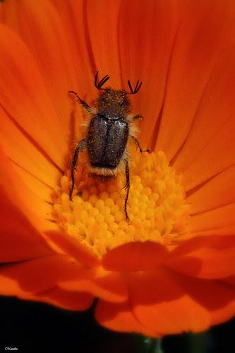 Escarabajo macro by Alejandro Bonilla