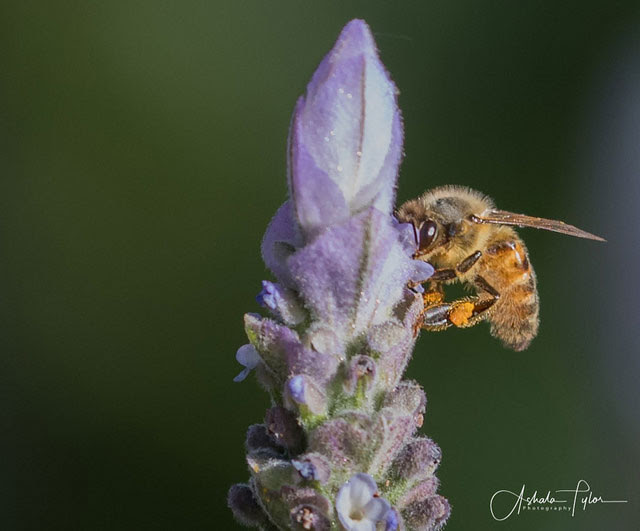 Bee on lavender               at Paso Robles, California --
