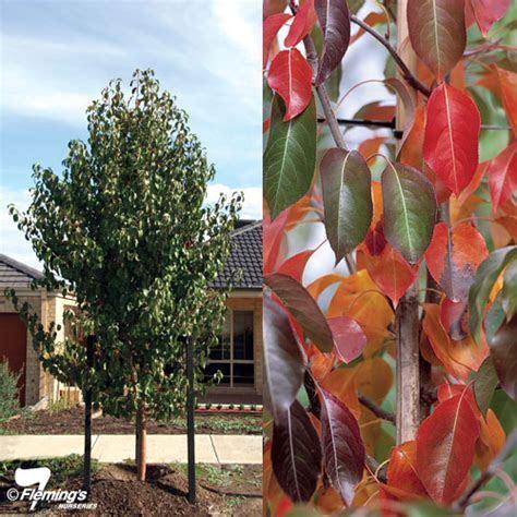 Ornamental Pear   Edgewood?   Perth, WA   Online Garden Centre