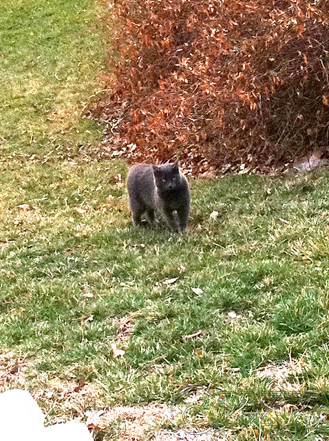 IMG_1610 Maude the Bully Cat
