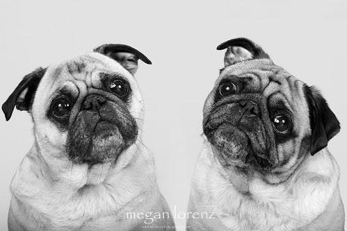 Pugs by Megan Lorenz