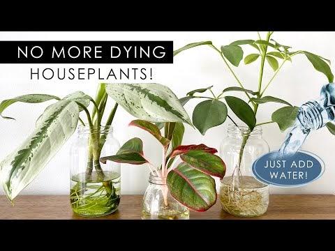 8 indoor plants that can grow in water (no soil needed)
