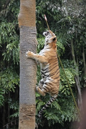 Tigers climbing trees Dreamworld