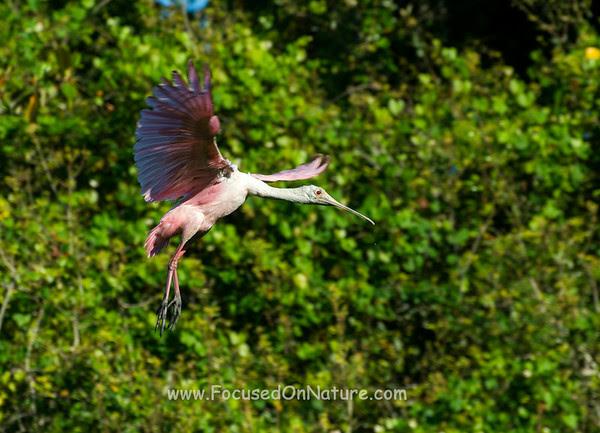 Roseate Spoonbill Landing Approach