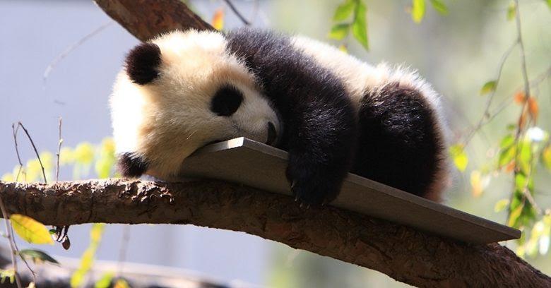 Los Osos Panda Bebés