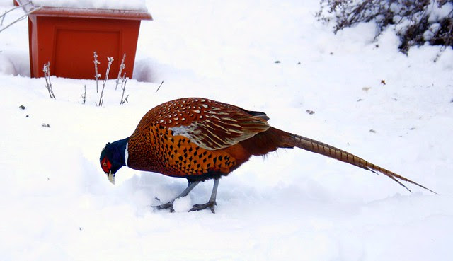 Pheasant (edited for colour correction)
