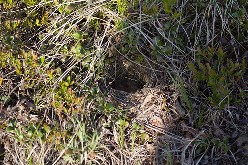 Vesper Sparrow nest