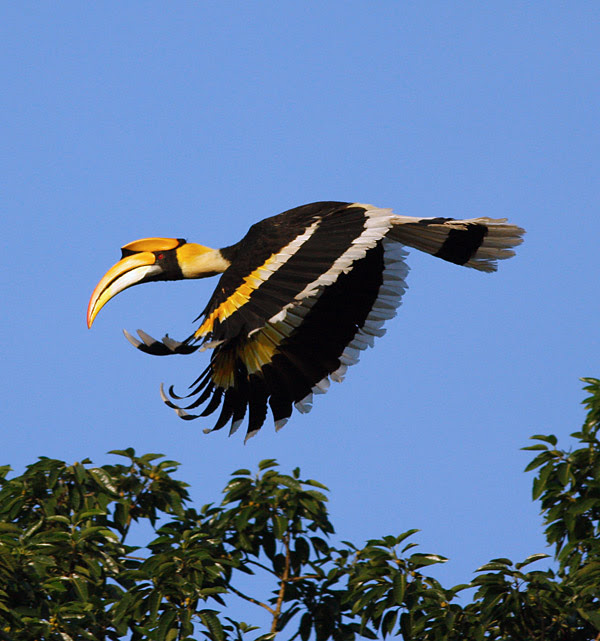 Great Hornbill, Khao Yai NP