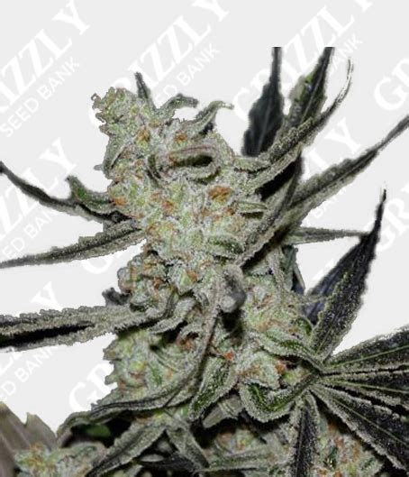 Cheesecake Auto Feminized Seeds   Grizzly Seed Bank   The