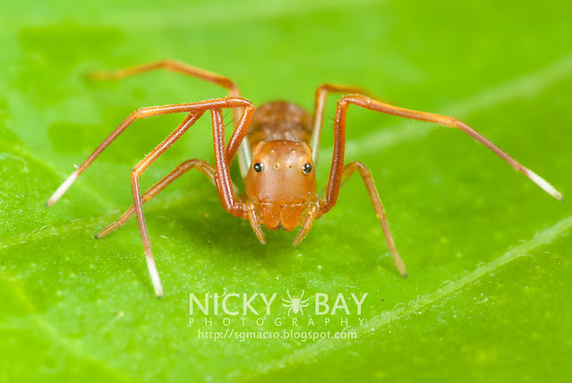 Ant-mimic Crab Spider (Amyciaea lineatipes) - DSC_6873