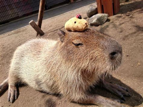 How do you make a capybara even cuter? Put another capybara on its head! ?Pics?   SoraNews24