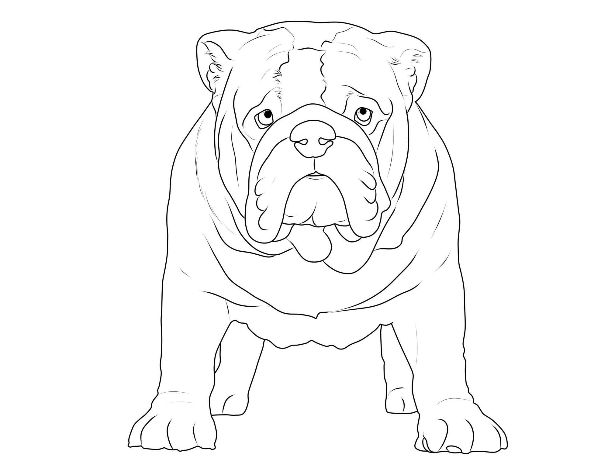 hund englische bulldogge