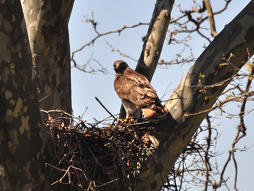 Mama Hawk Returns to Nest