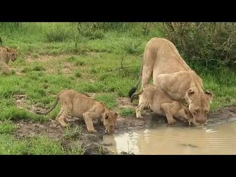 Lions are lovely animals