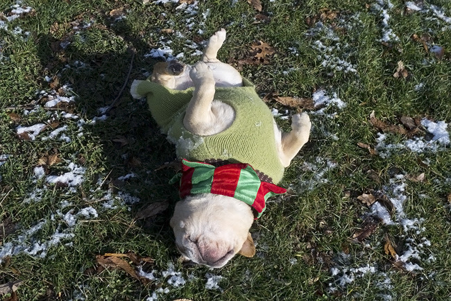 French bulldog, upside down