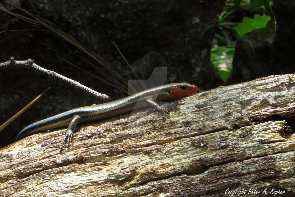 American Five-Lined Skink by peterkopher