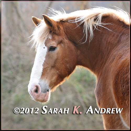 Blonde, bodacious Belgian looking for a home to call her own. Please contact Horse Rescue United for more information about Hailey.