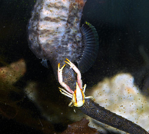Squat lobster hosting on Seahorse