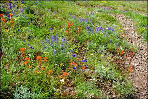 Wildflowers on the slope at Bald Mountain - Mt. Hood