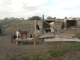 Dairy Goat Kids of 2013