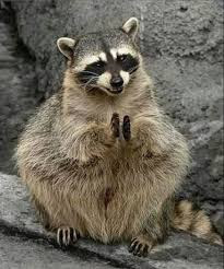 Clapping Racoon